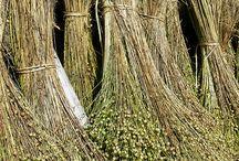 pianta del lino