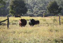 Boerderij Queensland Australië