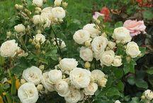 Подкормка роз