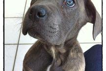 Mon cane corso / My name is Hélios