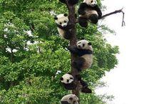 Daily cuteness - Pandas