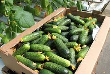 Огород и сад , овощи , травы , фрукты - ягоды
