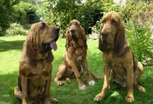 Bloodhounds / by Jennifer Winkler