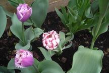 monia tulips