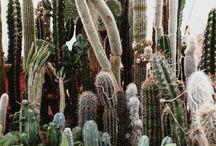 Cactus / Cacti