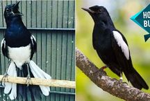 Burung Kacer / Magpie RObin