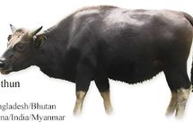 Myanmar Cattle Breeds #1 /  1-Mithun (aka Mythun in Burmese; Gayal in Hindi and Bengali; Dulong in Chinese; Bami and Bamen in Dzongkha; Mencha and Menscha in Sarchokpa) is the most common name used in Myanmar and the transboundary/brand name used by Bhutan, China and India. The Mithun (Bos frontalis) is a semi-domesticated Gaur. The Mithun and the Gaur were found by Fischer (1969) to be identical in karyotype (visual appearance and number of chromosomes found in the cell nuclei of an organism or species). Mithun domestication is presumed to have started at around 500 BC, however no formal documentation confirms this. Mithun have flat foreheads and short tails. Bulls are usually black, cows are usually brown, pied coats are also seen – all with white to tan stockings. Calves are born a dark red in color; mature coloration occurs around 6 months of age. Gaur vs Mithun - Mithun are/have: • a larger dewlap • straighter, very thick horns • a wide, flat poll • a stockier build with less height in the withers In Myanmar, the Mithun can be found in the northwestern hilly part of the Chin State (bordering Manipur State in India). Although semi-domesticated they do retain certain wild instincts and rarely mate in captivity. Reared in the forests, they browse mainly on shrubs, bushes and leaves. If a salt lick is provided they will return to a regular spot. The Mithun belongs to the Bibovine cattle group. Bibovine refers to several species of large Southeast Asian wild cattle that are closely related to common cattle.