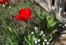 #Тюльпаны - #tulips