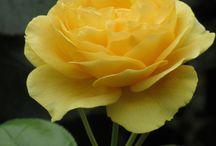 Awe: Roses