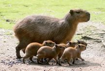 Capybara /  Native to South America, the capybara inhabits savannas and dense forests and lives near bodies of water. It is a highly social species and can be found in groups as large as 100 individuals, but usually lives in groups of 10–20 individuals. The capybara is not a threatened species and is hunted for its meat and hide and also for a grease from its thick fatty skin which is used in the pharmaceutical trade.