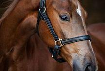 cavalli animali