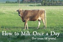FAMILY MILK COW / Natural health, feed, milking, and care for your family milk cow. / by Teri Page, Homestead Honey