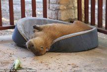 Capybara / zeldzaam cute