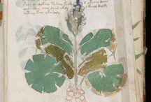 Botanical - Voynich Manuscript