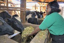 Musoni / Musoni Kenya est une IMF qui exploite fortement les technologies de l'information et de la communication afin de gérer ses activités de manière efficace et s'adapter rapidement. Musoni propose une offre de services souple et adaptée aux clients sur le marché tout en s'attachant à favoriser l'autonomisation des femmes qui font partie des groupes marginalisés et dont la proportion parmi ses clients a augmenté avec son expansion en zone rurale. ©Didier GENTILHOMME