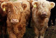 Meuh les vaches