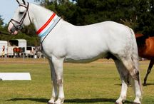 """Irish Draught / country of origin - Ireland 