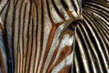 sebra stripes