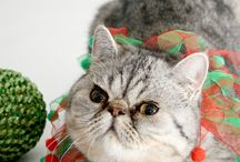 Franklin - Exotic Shorthair cat