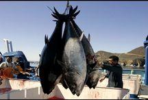 Ловля огромного тунца неводом. Рыбалка в океане.