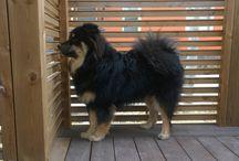 "Ontrein Jack O'Neill ""Sulo"" / Finnish Lapphund suomenlapinkoira"