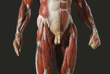 анатомия мужская