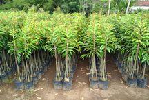 Bibit Durian / Jual Bibit Durian Musang King