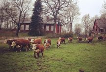 Koski Gård / Daytrip to a local farm. Hereford cattles are the oldest herd in Finland.