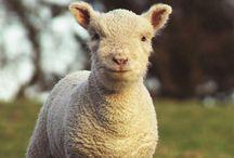 Grass fed lamb Ireland / Grass fed lamb raised in Northern Ireland - buy online at www.pheasantshillfarm.com