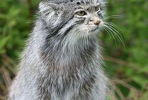 Pallas cat / Manul