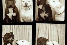 Pitbulls and the Life of the Dog