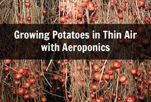 Potatoes airoponics