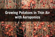Potatoes airoponics