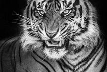 tigre veloz