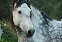 Horses grays