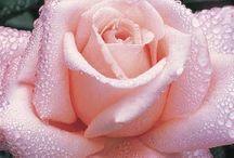 Rózsák világa