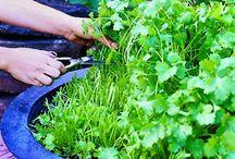 a better way to plant celantro