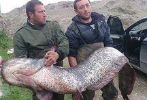 87 kilogramlık yayın balığı
