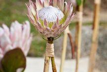King Proteas