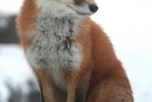 because, foxes!