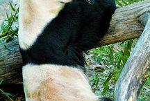 Panda Bears / Bears  / by Debra Galarneau