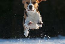 Beaglet
