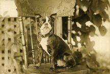 Old and vintage photos of Boston Terriers / Παλαιές φωτογραφίες και εικονογραφήσεις σκύλων Μπόστον Τέρριερ.
