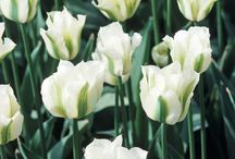 Tulip Tips & Growing Hints / A selection of tips for caring for tulips - our favorite flower, of course!