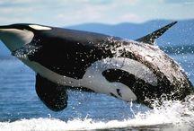 Tapety - zwierzęta - wodne stworzenia - orki