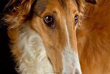 gorgeous sighthounds. / borzoi, windhounds, saluki, afghans, irish wolfhounds, greyhounds & whippets / by athena hk