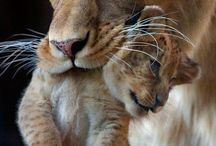 Leeus / Lions, Löwe, Leeus, Leeuwen