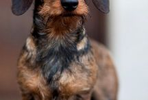 Dogs (Mainly pictures of dachshunds)