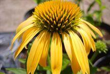 Jaune / Végétaux à floraison ou feuillage jaune.