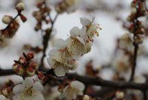 Sakura Korea